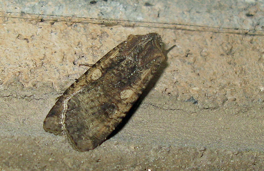 Moth on wall at night