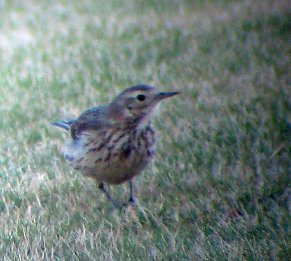 front view of American Pipit