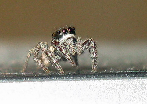 A Jumping spider on top of my monitor