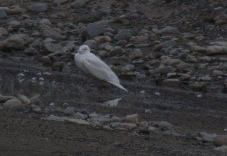 Almost completely white gull