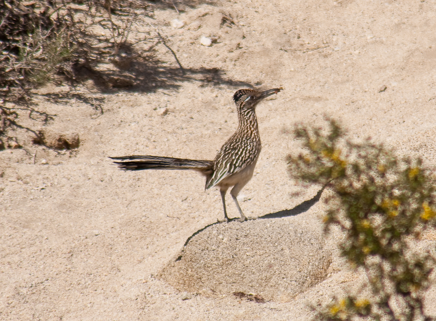 Greater Roadrunner with grub in mouth