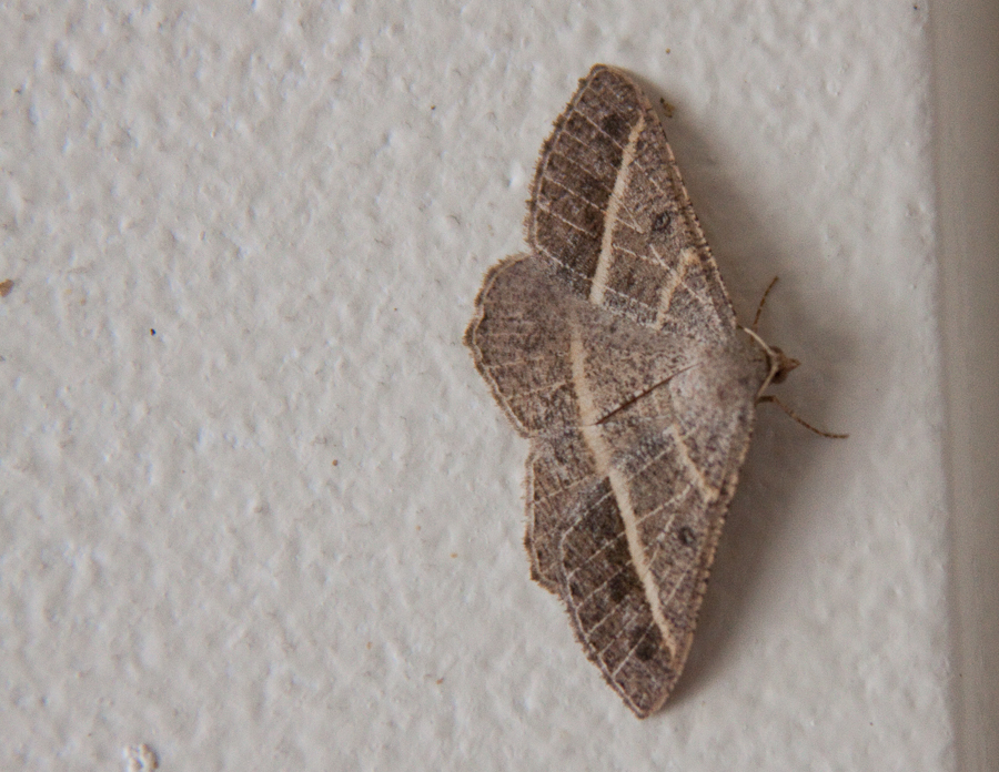 Tan moth on wall, wings spread