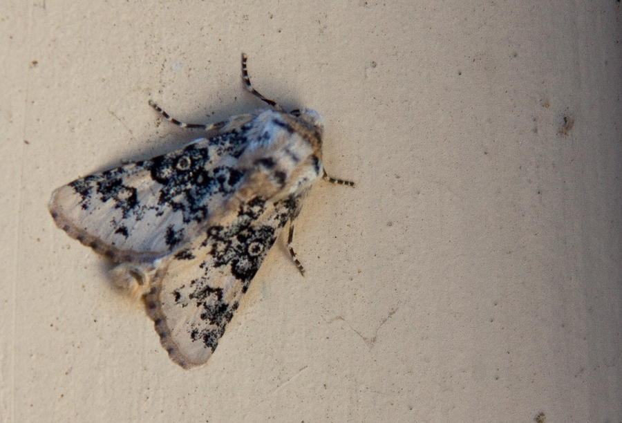 Patterned black and white moth