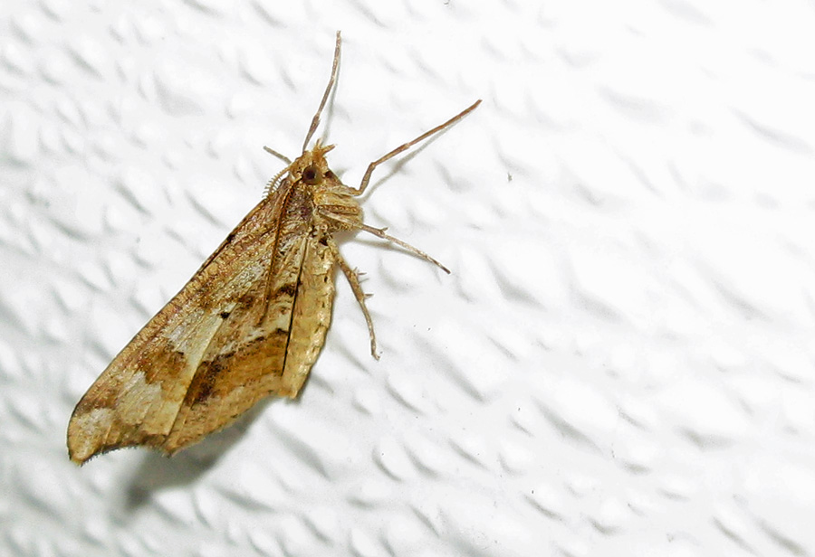 Brown striped moth on wall