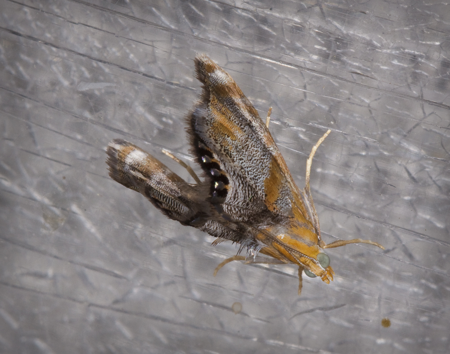 dicymolomia-opuntialis