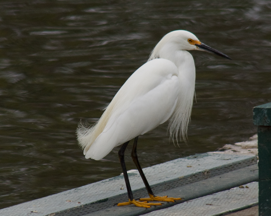 Snowy Egret perched