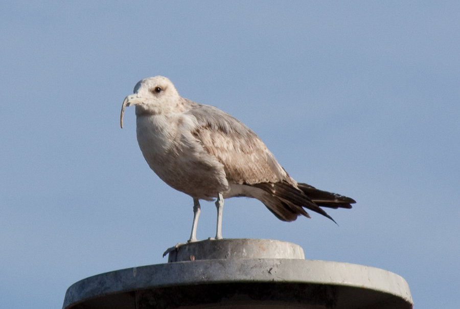 Gull with Curved Bill