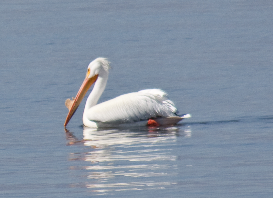 white-pelican-at-salton-sea