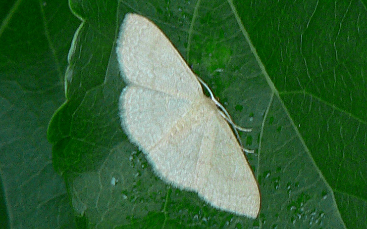 pale white geometer moth on green leaf
