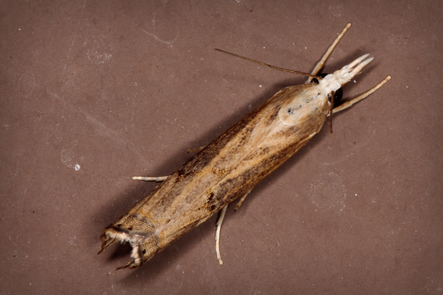 Crambid snout moth