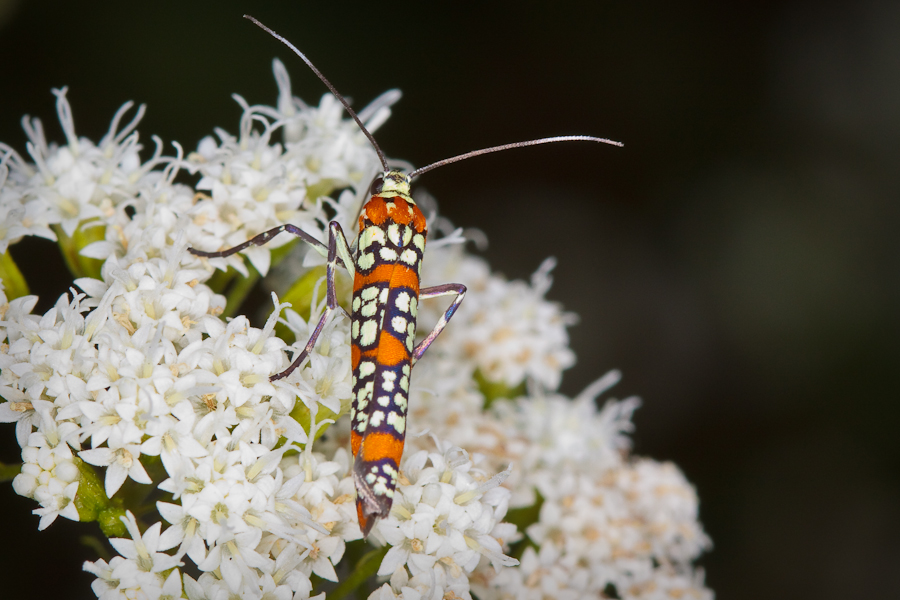 Orange and white patterned moth on white flowers