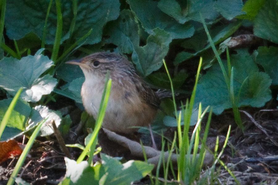 Small Brown Bird in Weeds