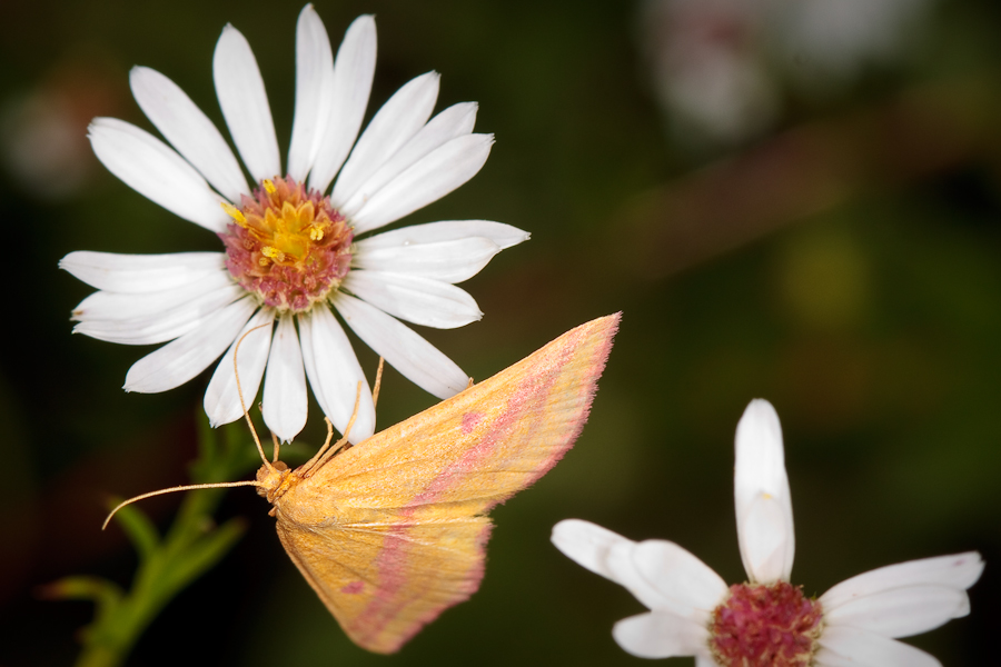 yellow-tan moth on white flower