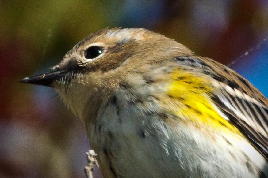 warbler head shot