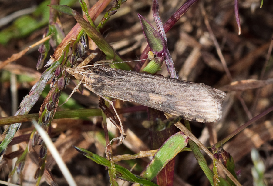 Gray brown moth in grass
