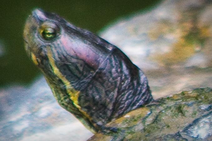 turtles head