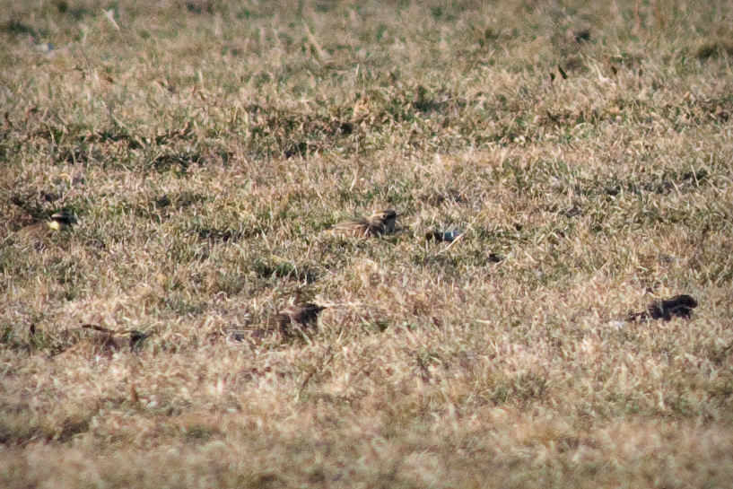 5 tiny brown and yellow birds half hidden in a grassy field