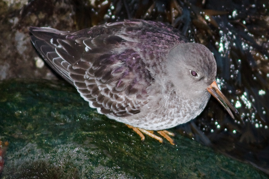 Roundish shorebird with purple tertials