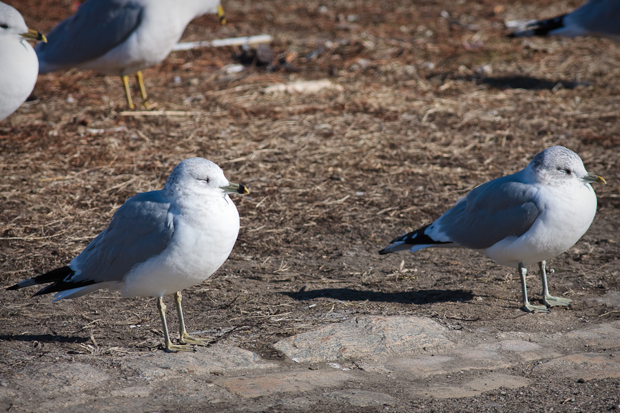 Ring-billed Gull next to Common Gull