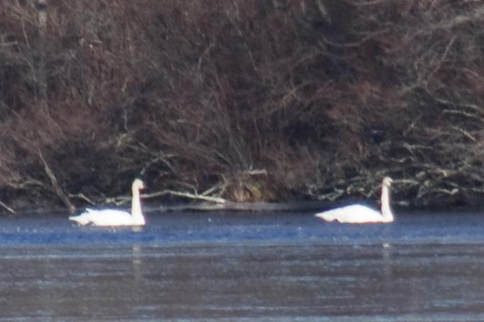 2 White swans with black bills