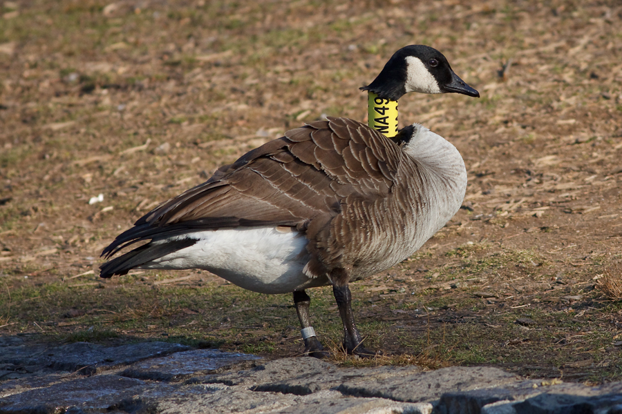 NA49 Black on yellow band on adult Canada Goose