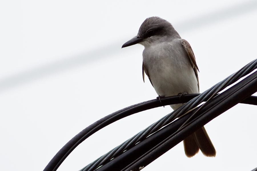 Tyrant Flycatcher perched on power line