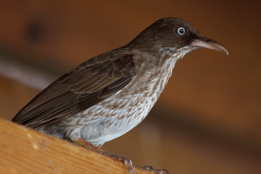 White-eyed Brown bird