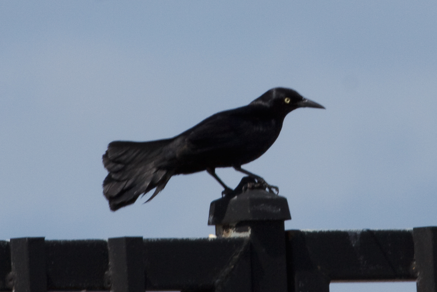Black bird with yellow eye