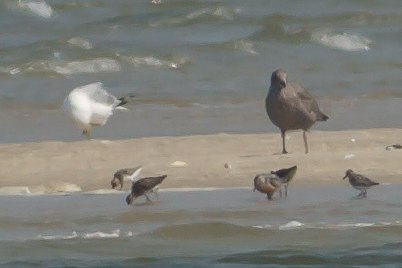 Hudsonian Godwit on sandbar with Gulls, Dowitchers and other shorebirds