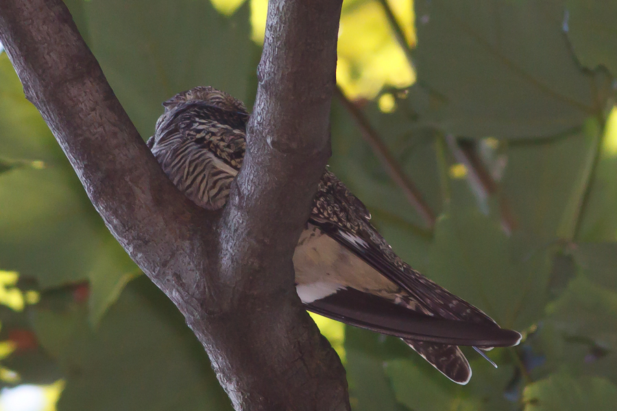 Common Nighthawk perched