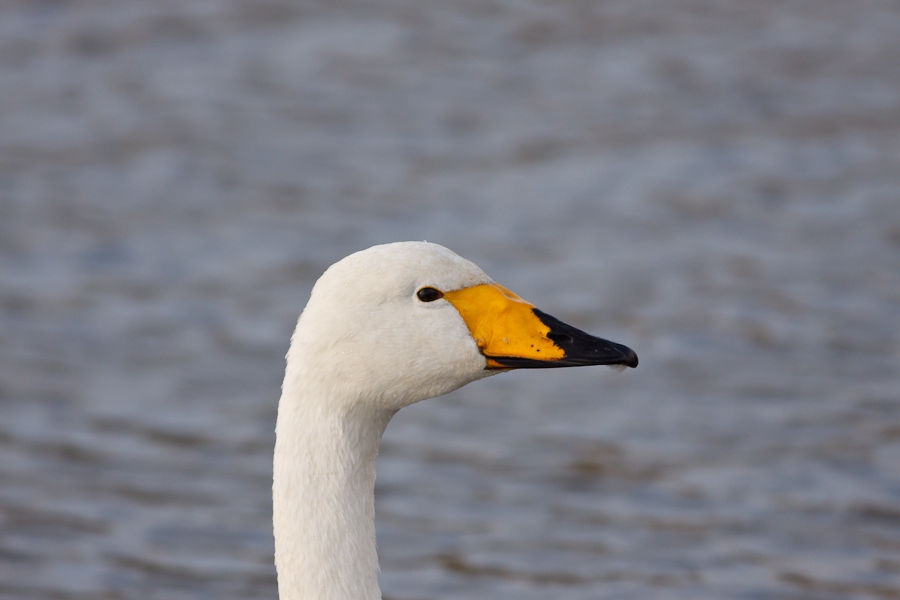 Profile of a swan with a yellow and black bill