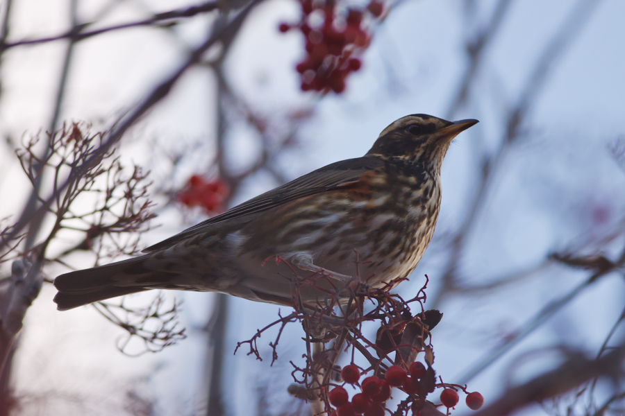 Redwing in bare tree with red berries