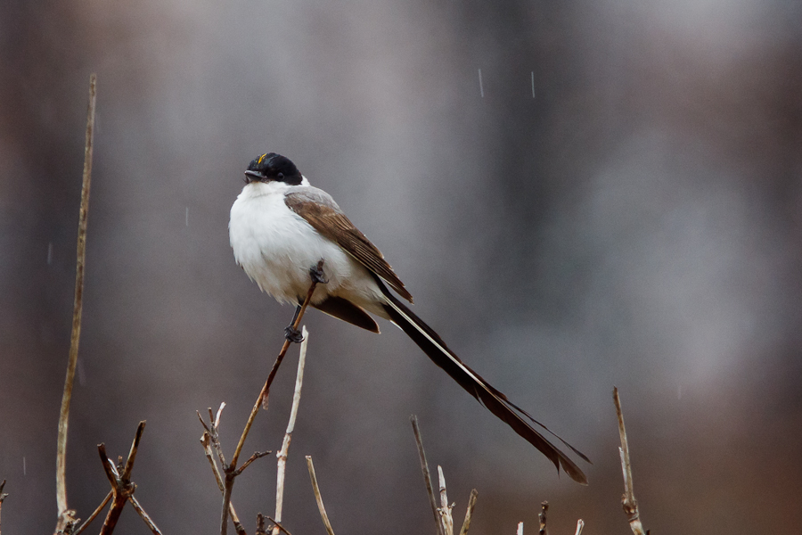 Fork-tailed Flycatcher perched