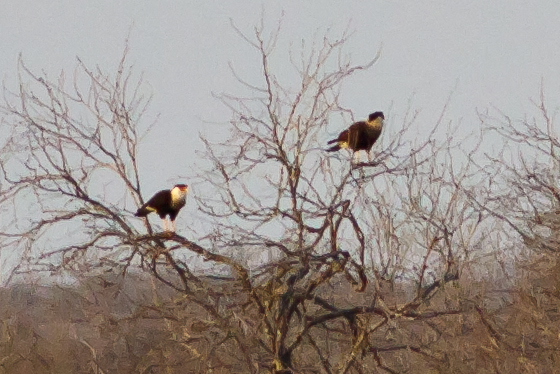 2 Crested Caracaras perched in a leafless tree