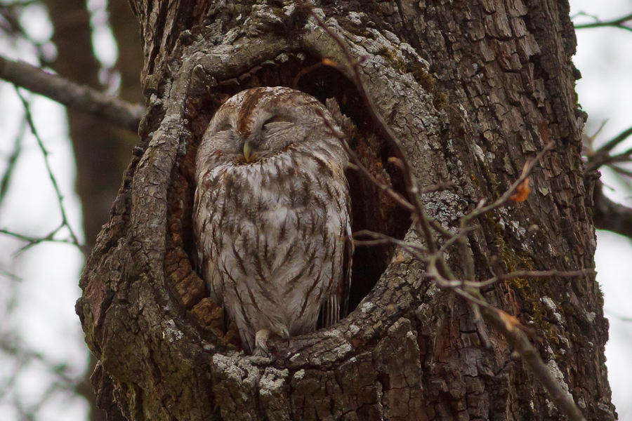 Tawny Owl perched in hole in tree