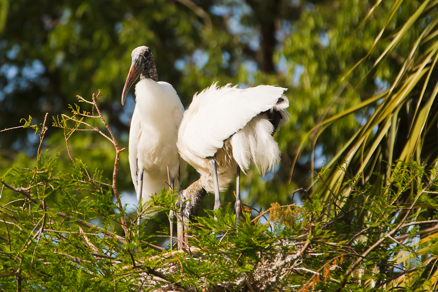 Two Wood Storks building a nest