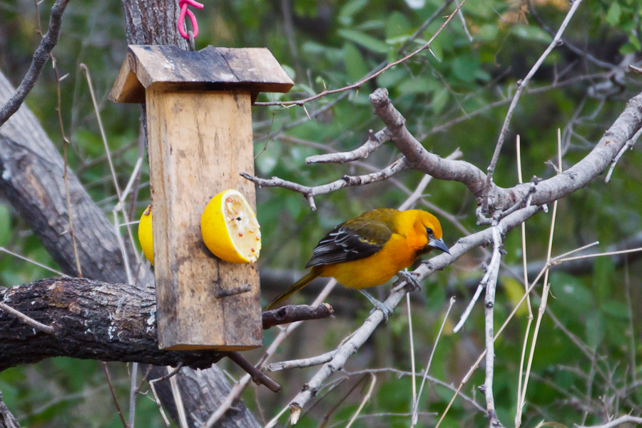 Altamira Oriole at feeder