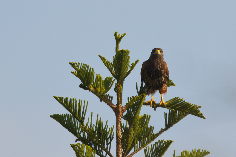 Harris's Hawk perched in tree