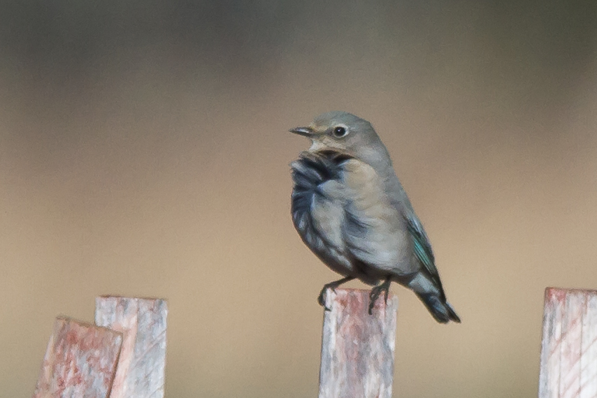 Mountain Bluebird perched on snow fence