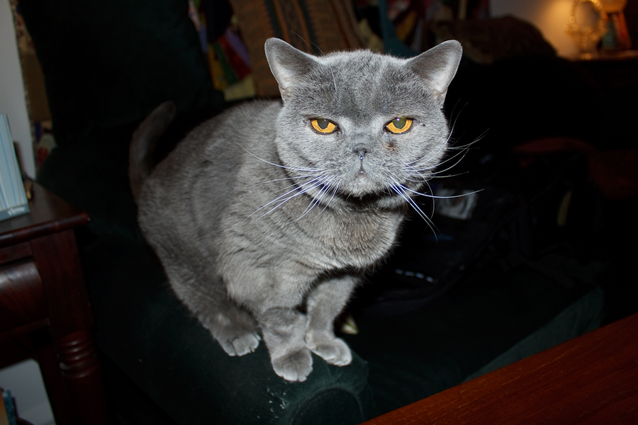 Blue British Shorthair Cat