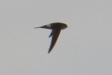 Antillean Palm Swift in flight