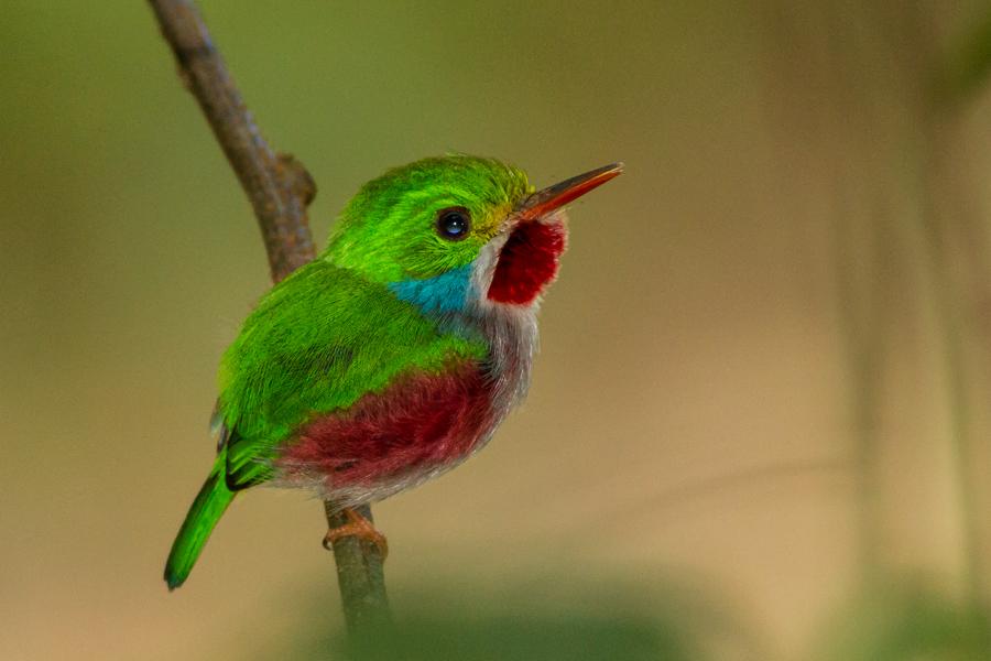 Cuban Tody, Todus multicolor, an endemic species of Cuba