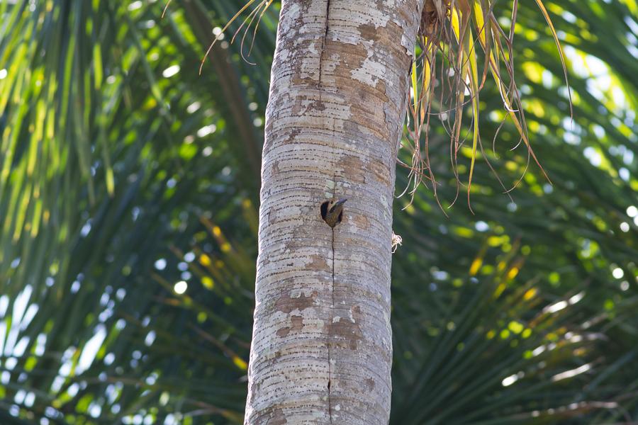 Fernandina's Flicker in Palm Tree