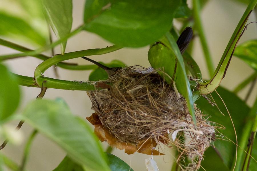 Cuban Emerald Hummingbird Nest
