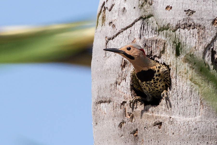 Northern Flicker in nest hole in palm tree