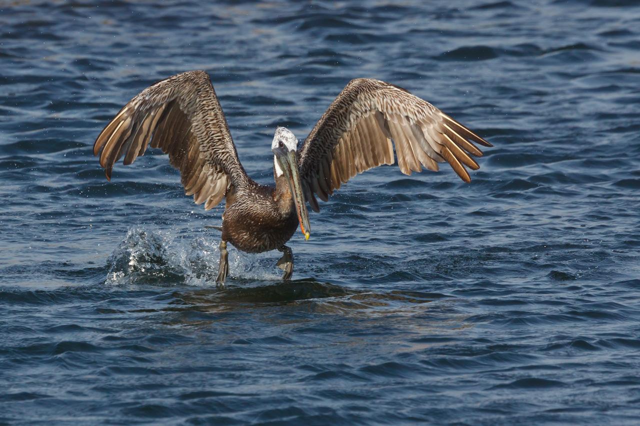 Brown Pelican, Pelecanus occidentalis, coming in for a landing