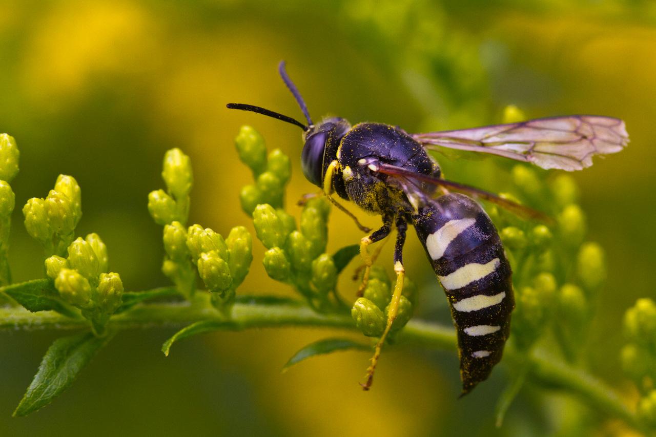Sand Wasp, Bicyrtes quadrifasciatus