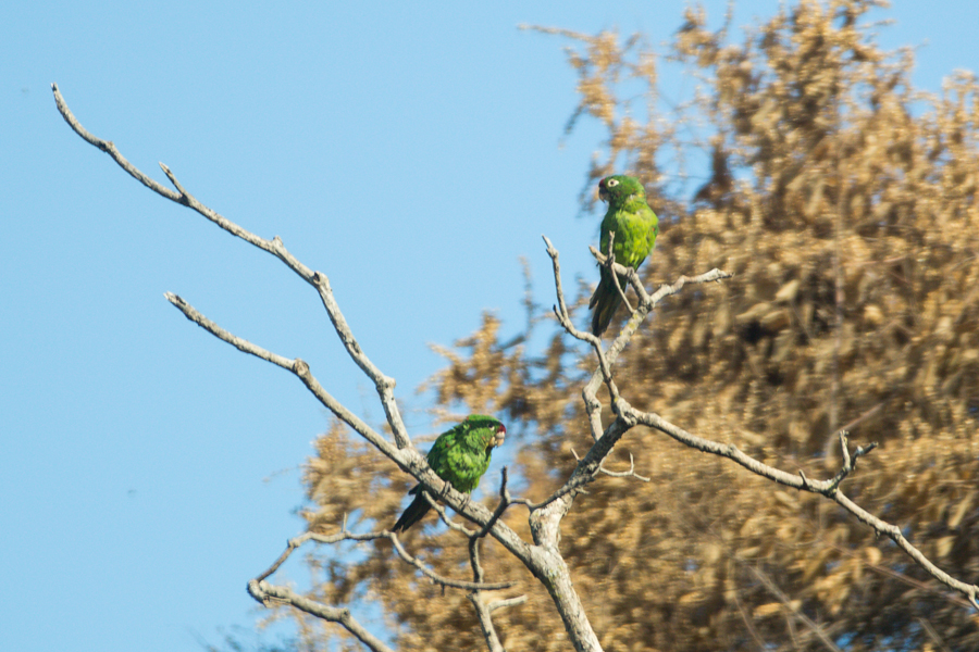 Crimson-fronted Parakeets