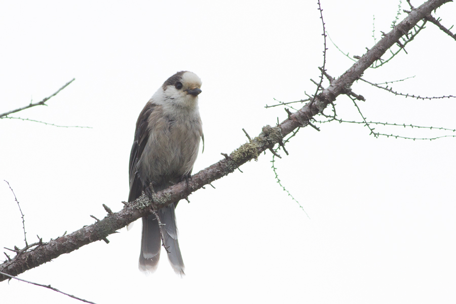 Gray Jay perched on twig