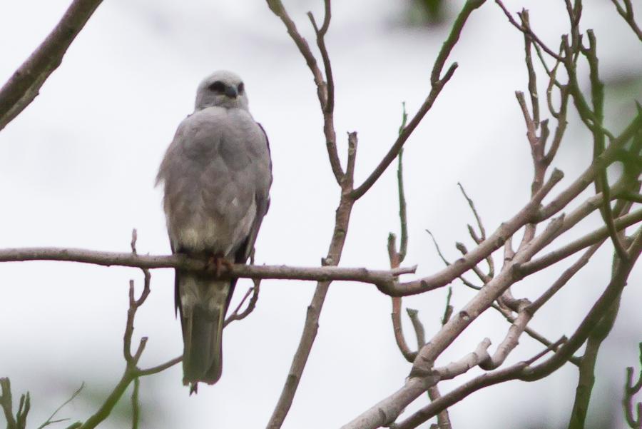 Mississippi Kite perched